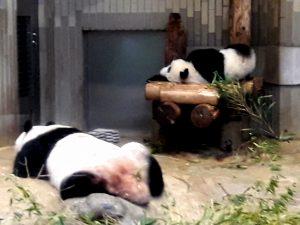 Giant panda ueno zoo